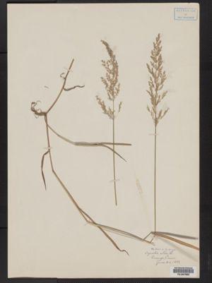 Agrostis alba image