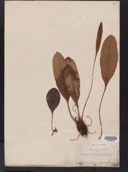 Image of Elaphoglossum amblyphyllum