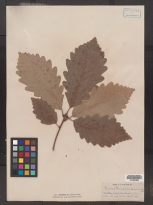 Quercus prinus image