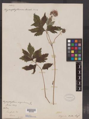 Hydrophyllum virginianum image