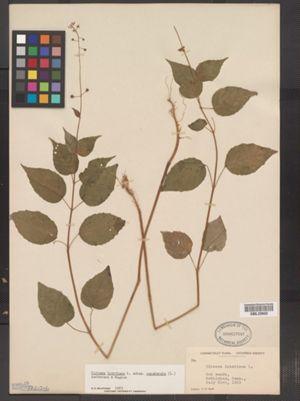 Circaea lutetiana ssp. canadensis image