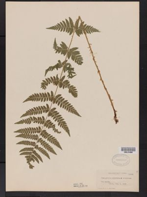Image of Thelypteris cristata