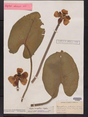Nuphar lutea ssp. advena image