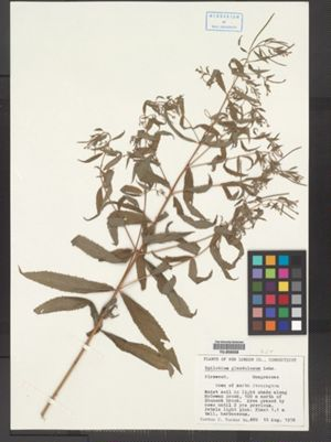 Epilobium ciliatum ssp. glandulosum image