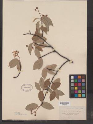 Amelanchier canadensis image