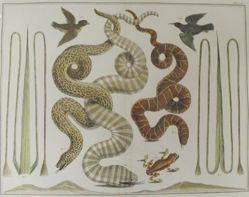 Plate 70 from Locupletissimi rerum naturalium thesauri accurata descriptio