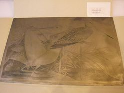 Copper plate for Great Marbled Godwit / Limosa Fedoa