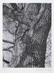 White ash, fraxinus americana, from the portfolio Volume III: Trees
