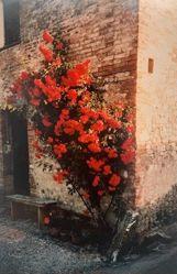Roses, Taverna d'Arbia, from the portfolio Toscana