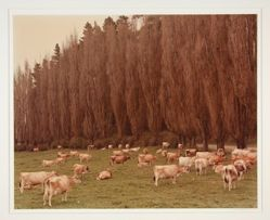 Guernsey Herd, Tauranga, New Zealand, 1976