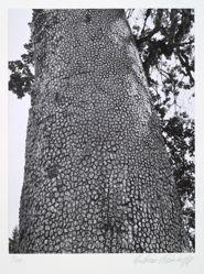 California white oak, quercus lobata, from the portfolio Volume III: Trees
