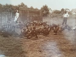 Young Sologne Turkeys in Apeldoorn