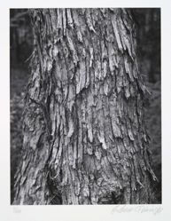 Hop hornbeam, ostrya virginiana, from the portfolio Volume III: Trees