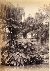 Botanic Gardens, Sydney, N. S. W. (New South Wales), from the album [Sydney, Australia]
