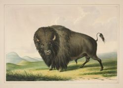 Buffalo Bull Grazing, pl. 2 from the North American Indian Portfolio