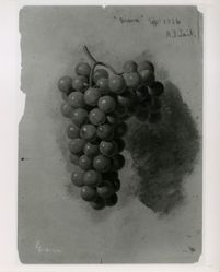 """Diana""  (Grapes)"