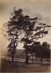 Gum Trees, South Head Road, Sydney, from the album [Sydney, Australia]