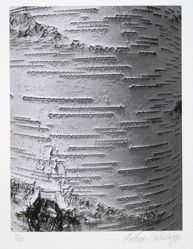 Gray birch, betula populifolia, Marshall, from the portfolio Volume III: Trees