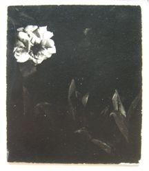 White Rose XII, Woods Hole, MA