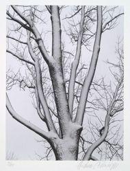 White ash in winter, from the portfolio Volume III: Trees