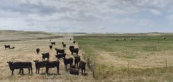 Cows and Pasture, Goshen County, from the series Susurrations: the Wyoming Grasslands Photographic Project