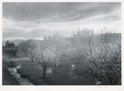 Apple Blossoms, Velarde, from New Mexico Portfolio