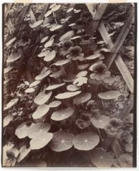 Capucines (Nasturtiums)