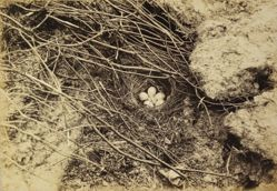 Nest and Eggs: The White Wagtail