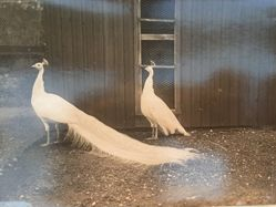 Snow-White Peacock Couple