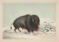 Wounded Buffalo Bull, pl. 16 from the North American Indian Portfolio