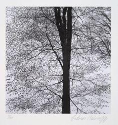 European beech, fagus sylvatica, Linné, from the portfolio Volume III: Trees