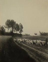 Sheep Herd in Heythuysen (Limburg)
