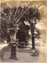 Botanic Gardens, Sydney, N. S. W. (New South Wales), from the album [Sydney, Australia]