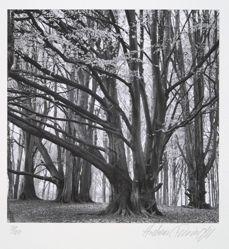 European beech, fagus sylvatica Linné, from the portfolio Volume III: Trees